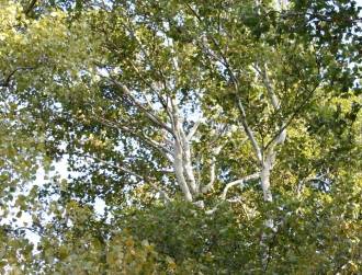 HR_Sycamore Tree-2013