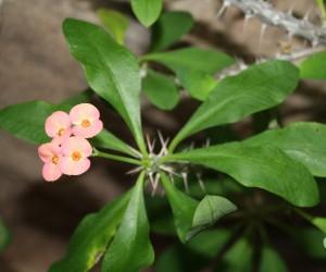 CBG_Desert Flower