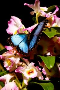 A Blue Morpho butterfly on an orchid at the Cleveland Botanical Garden
